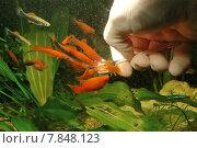 red water hand fish hobby. Стоковое фото, фотограф Dirk Dümpelmann / PantherMedia / Фотобанк Лори