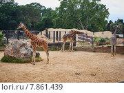 Жирафы в вольере. Стоковое фото, фотограф Денис Шелехов / Фотобанк Лори