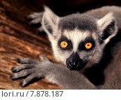 Купить «portrait animal eyes mammal monkey», фото № 7878187, снято 22 апреля 2019 г. (c) PantherMedia / Фотобанк Лори