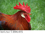 Купить «red gorgeous bird colourful chicken», фото № 7894415, снято 20 мая 2019 г. (c) PantherMedia / Фотобанк Лори