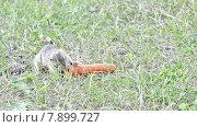 Купить «Суслик ест морковь», видеоролик № 7899727, снято 22 июля 2015 г. (c) Андрей Павлов / Фотобанк Лори