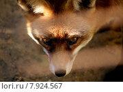Купить «predator dogs fox whelps rabies», фото № 7924567, снято 22 марта 2019 г. (c) PantherMedia / Фотобанк Лори