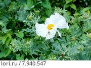Аргемона (Papaveraceae)Pau kala цветы семейства Маковые. Стоковое фото, фотограф Татьяна Кахилл / Фотобанк Лори