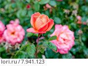Цветущие розы в саду. Стоковое фото, фотограф Татьяна Кахилл / Фотобанк Лори