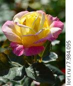Купить «Роза чайно-гибридная Белла Рома (лат. Bella' Roma), Jackson&Perkins», эксклюзивное фото № 7984095, снято 21 июля 2015 г. (c) lana1501 / Фотобанк Лори