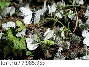 Много бабочек. Капустницы. Стоковое фото, фотограф Ирина Новак / Фотобанк Лори