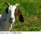 Купить «nature animal mammal pet horn», фото № 7988507, снято 26 мая 2019 г. (c) PantherMedia / Фотобанк Лори