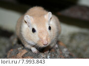 Купить «mongolia mice gerbil cricetidae cricetiden», фото № 7993843, снято 22 января 2019 г. (c) PantherMedia / Фотобанк Лори