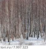 Купить «Березовая роща зимой», эксклюзивное фото № 7997323, снято 7 февраля 2015 г. (c) Сергей Лаврентьев / Фотобанк Лори