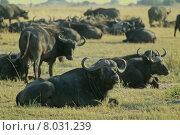 Купить «africa botswana chobenp kaffernb ffel», фото № 8031239, снято 15 августа 2018 г. (c) PantherMedia / Фотобанк Лори