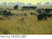 Купить «africa botswana chobenp kaffernb ffel», фото № 8031247, снято 15 августа 2018 г. (c) PantherMedia / Фотобанк Лори