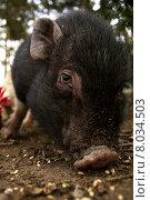 Купить «pig viet nam piglet sow», фото № 8034503, снято 25 мая 2019 г. (c) PantherMedia / Фотобанк Лори