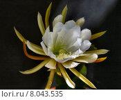 Купить «odorous cusco epiphyllum epiphyt gelbe», фото № 8043535, снято 20 августа 2018 г. (c) PantherMedia / Фотобанк Лори