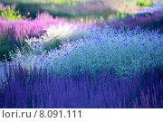 Купить «Цветочный фон - клумба с декоративными цветами ( лавандовый котовник, голубой колокольчик, люпин)», фото № 8091111, снято 4 июля 2015 г. (c) Татьяна Белова / Фотобанк Лори