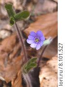 Купить «blue liverwort hahnenfussgew chse hahnenfu», фото № 8101527, снято 20 апреля 2019 г. (c) PantherMedia / Фотобанк Лори