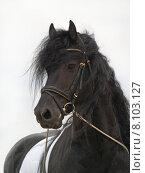 Купить «portrait black horse stallion gelding», фото № 8103127, снято 21 марта 2019 г. (c) PantherMedia / Фотобанк Лори