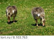 Купить «bird birds chick goose migrant», фото № 8103763, снято 19 сентября 2019 г. (c) PantherMedia / Фотобанк Лори