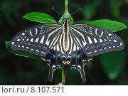Купить «butterfly butterflies asiatischer schwalbenschwanz butterflie», фото № 8107571, снято 23 января 2019 г. (c) PantherMedia / Фотобанк Лори