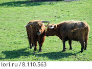 Купить «agriculture animals farming cattle scottish», фото № 8110563, снято 30 мая 2020 г. (c) PantherMedia / Фотобанк Лори