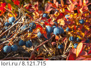 Купить «Богатый урожай. Голубика. Здоровое питание.», фото № 8121715, снято 13 сентября 2013 г. (c) Юрий Карачев / Фотобанк Лори