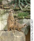 Купить «mammal meerkats meerkat fleschfresser gregarious», фото № 8221427, снято 26 марта 2019 г. (c) PantherMedia / Фотобанк Лори