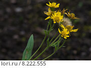 Купить «yellow arnica monatana berg wohlverleih», фото № 8222555, снято 26 июня 2019 г. (c) PantherMedia / Фотобанк Лори