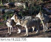 Купить «4 wolves», фото № 8222735, снято 22 июля 2019 г. (c) PantherMedia / Фотобанк Лори
