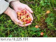 Купить «Урожай спелой морошки в руках рядом с ягодными кустами», фото № 8225191, снято 19 июля 2015 г. (c) Кекяляйнен Андрей / Фотобанк Лори