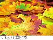 Купить «Красочные опавшие осенние листья, фон», фото № 8226475, снято 17 сентября 2014 г. (c) Михаил Коханчиков / Фотобанк Лори