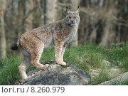 Купить «rock forest cat zoo cats», фото № 8260979, снято 23 февраля 2019 г. (c) PantherMedia / Фотобанк Лори