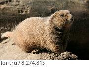 Купить «cute animal mammal zoo rodent», фото № 8274815, снято 29 февраля 2020 г. (c) PantherMedia / Фотобанк Лори