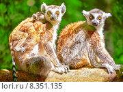 Купить «Симпатичные Вари в естественной среде обитания», фото № 8351135, снято 19 мая 2015 г. (c) Vitas / Фотобанк Лори