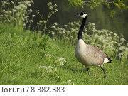 Купить «bird birds poultry goose waterfowls», фото № 8382383, снято 20 июня 2019 г. (c) PantherMedia / Фотобанк Лори