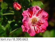 Купить «Роза флорибунда Крэйзи фо Ю (лат. Crazy for You)», эксклюзивное фото № 8390663, снято 24 июля 2015 г. (c) lana1501 / Фотобанк Лори