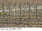 Купить «New vineyard», фото № 8401775, снято 22 сентября 2019 г. (c) PantherMedia / Фотобанк Лори