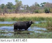 Купить «africa buffalo botswana 879 kaffernb», фото № 8411451, снято 22 января 2018 г. (c) PantherMedia / Фотобанк Лори