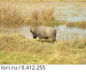 Купить «buffalo syncerus caffer kaffernb ffel», фото № 8412255, снято 15 августа 2018 г. (c) PantherMedia / Фотобанк Лори