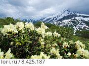 Купить «Рододендроны. Камчатка, Россия», фото № 8425187, снято 19 июля 2015 г. (c) Валерий Трубицын / Фотобанк Лори