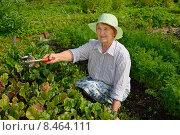Купить «Пожилая женщина улыбается и ухаживает за грядкой свёклы на дачном участке ясным солнечным днём», фото № 8464111, снято 26 июля 2015 г. (c) Максим Мицун / Фотобанк Лори