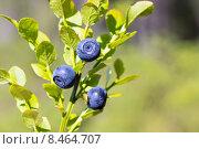 Спелая черника. Стоковое фото, фотограф Sergei Gorin / Фотобанк Лори