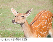 Купить «Пятнистый олень (Cervus nippon). Самка», эксклюзивное фото № 8464735, снято 13 июля 2015 г. (c) Алёшина Оксана / Фотобанк Лори