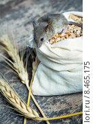 Купить «Серая мышь сидит на мешке с зерном», фото № 8465175, снято 31 июля 2015 г. (c) Типляшина Евгения / Фотобанк Лори