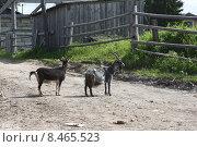 Купить «Две козы на деревенской улице», фото № 8465523, снято 13 июля 2015 г. (c) Елена Боброва / Фотобанк Лори