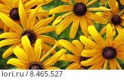 Желтые цветы Рудбекии в саду. Стоковое видео, видеограф Мальцев Артур / Фотобанк Лори