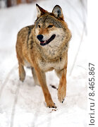 Серый волк на снегу в естественной среде обитания. Стоковое фото, фотограф Эдуард Кислинский / Фотобанк Лори