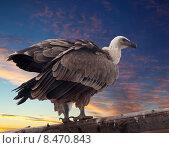 Купить «Griffon vulture against sunset», фото № 8470843, снято 22 октября 2018 г. (c) Яков Филимонов / Фотобанк Лори