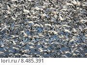 Купить «Snow Geese (chen caerulescens) In Flight», фото № 8485391, снято 18 января 2019 г. (c) PantherMedia / Фотобанк Лори