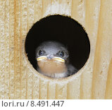 Купить «Baby Tree Swallow (tachycineta bicolor) », фото № 8491447, снято 16 июня 2019 г. (c) PantherMedia / Фотобанк Лори