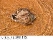 Купить «Рапан на морском берегу», фото № 8508115, снято 29 июля 2015 г. (c) WalDeMarus / Фотобанк Лори