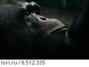 Купить «animal face eyes monkey chimpanzee», фото № 8512335, снято 20 июня 2018 г. (c) PantherMedia / Фотобанк Лори